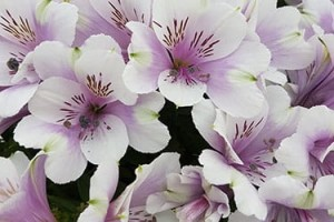 Alstroemeria Princess Lilies™ MoonLight